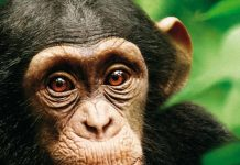 Disney disneynature affiche chimpanzés