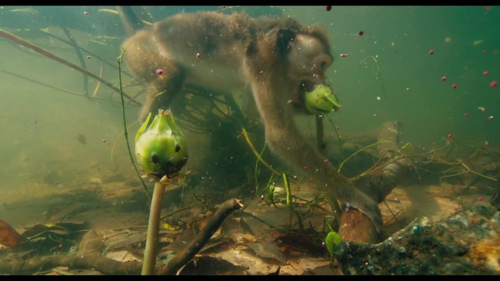 disney disney nature au royaume des singes