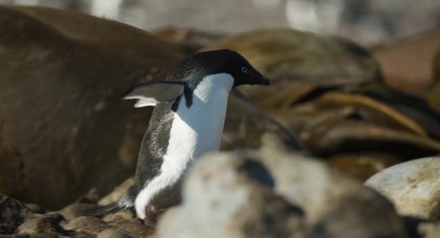capture penguins disney disneynature