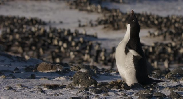capture penguins disney disneynature