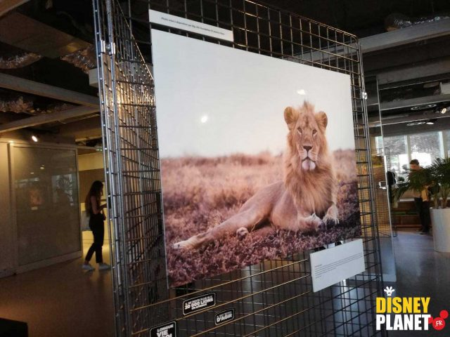 Image protection roi lion disney