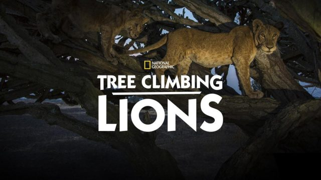 affiche poster lions arbres tree climbing disney nat geo