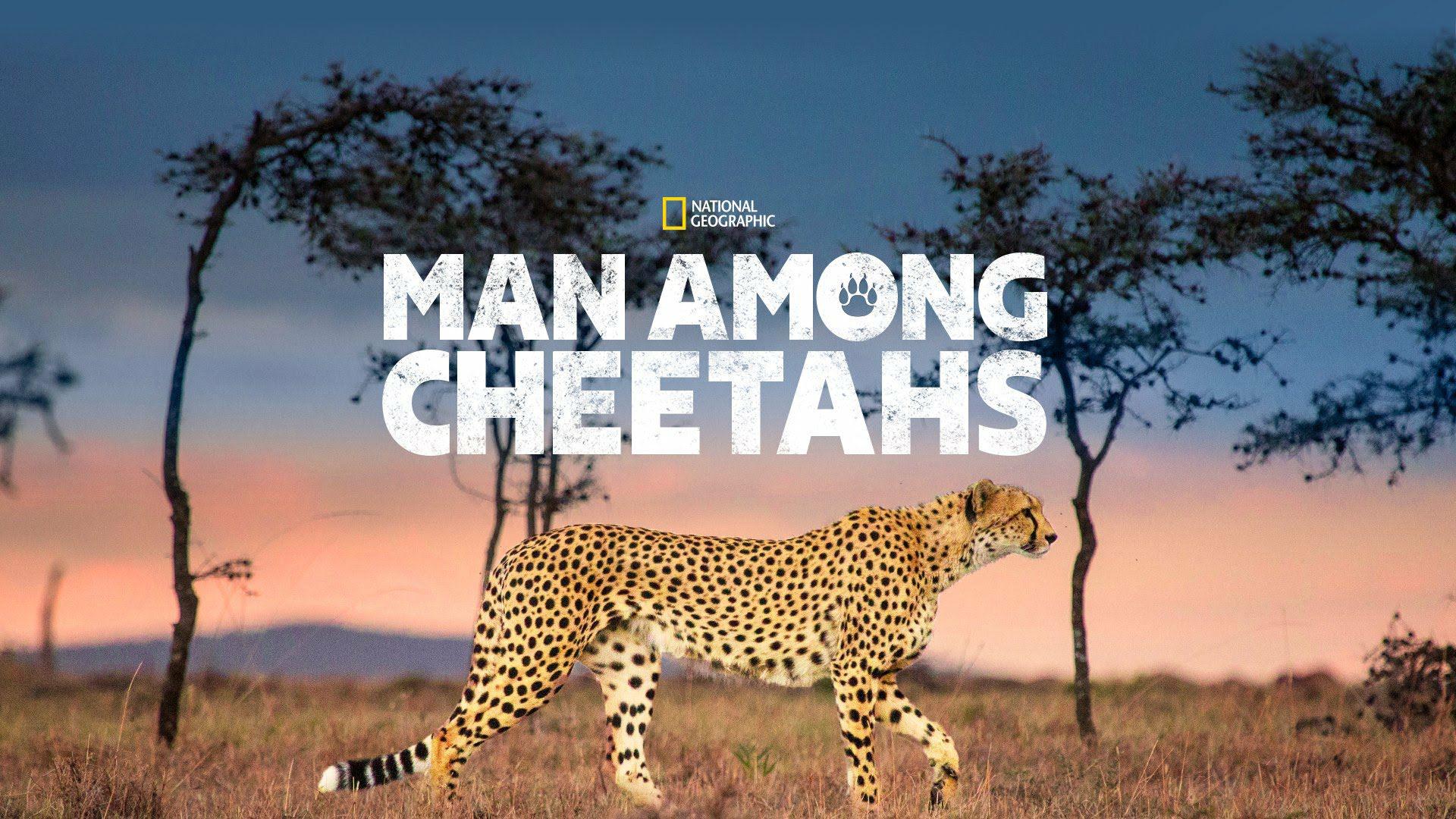 affiche poster milieu guepards man among cheetah disney nat geo