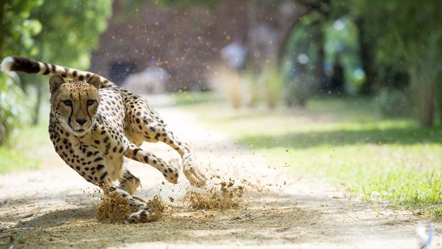 image big cat games nat geo disney